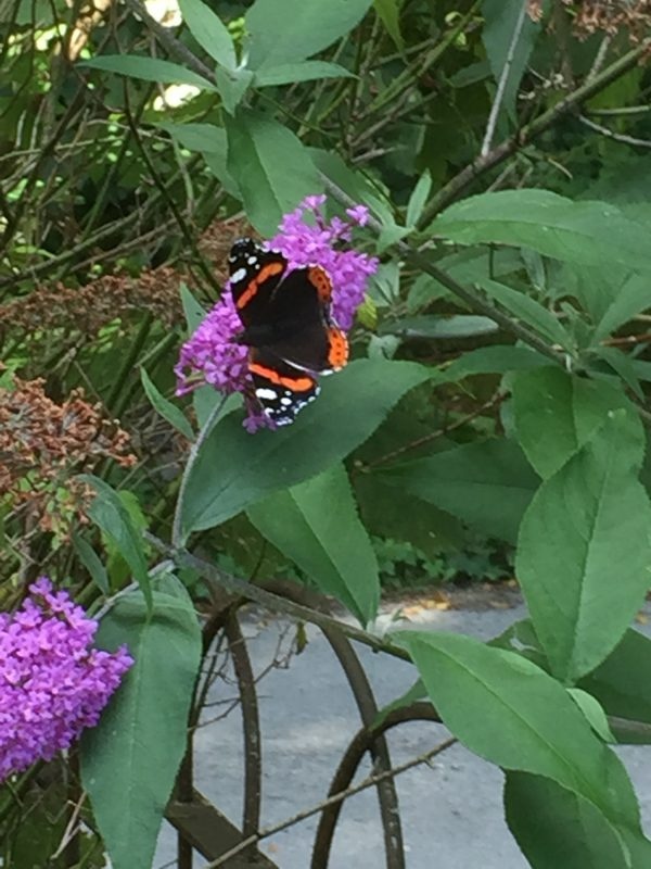butterfly on lilac flowers