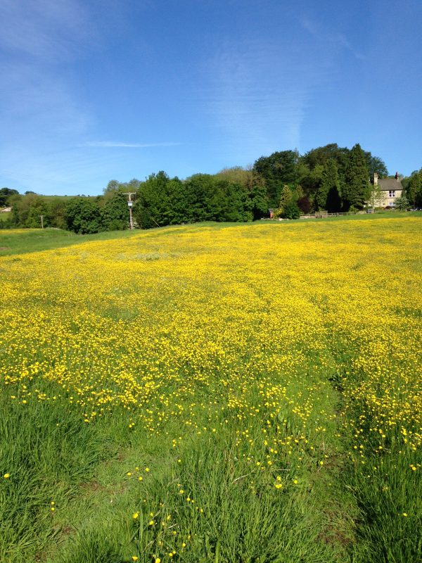 meadow yellow carpet of flowers