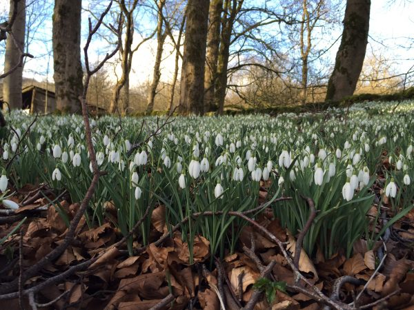 snowdrop carpet in woodlands