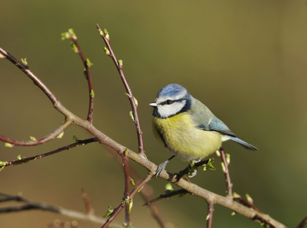 wildlife-bluetit