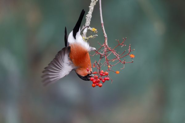 wildlife-bullfinch