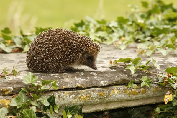 wildlife-hedgehog