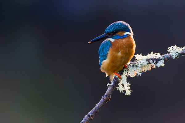 wildlife-kingfisher