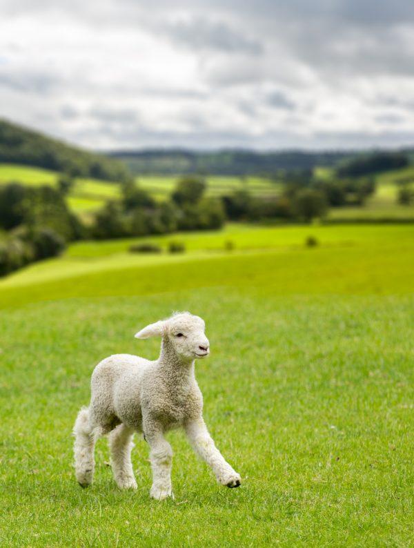 wildlife-lamb