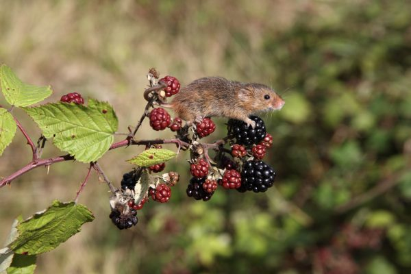 wildlife-mouse