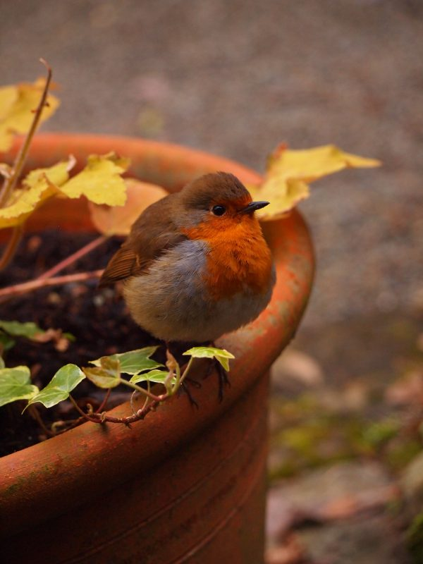 wildlife-robin-2