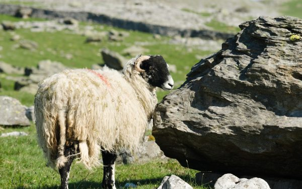 wildlife-sheep-2