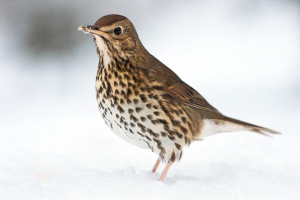 wildlife-thrush