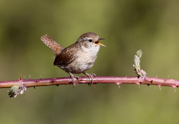 wildlife-wren
