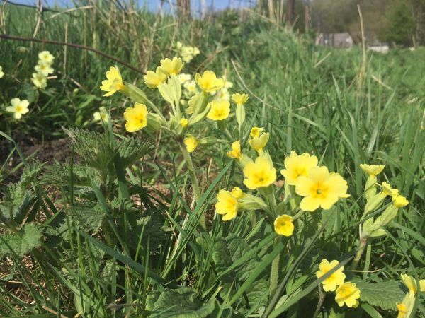 woodnook cowslips